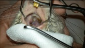 Choroba zębów a objawy oddechowe u szynszyli