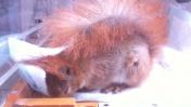 Wiewiórka chwilę po urazie z silną dusznością