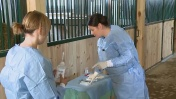 Zastosowanie komórek macierzystych w leczeniu ścięgien u koni